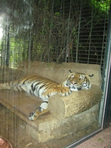 tiger auf seinem sofa im dortmunder zoo